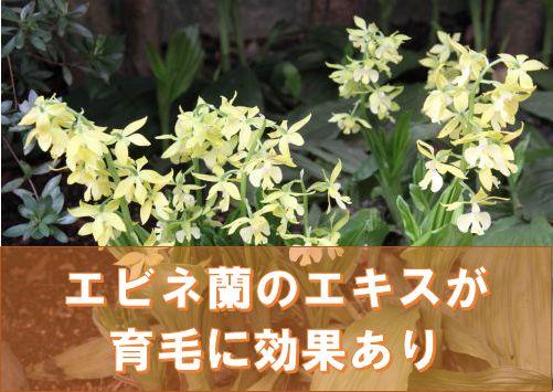 エビネ蘭のエキスが育毛に効果あり
